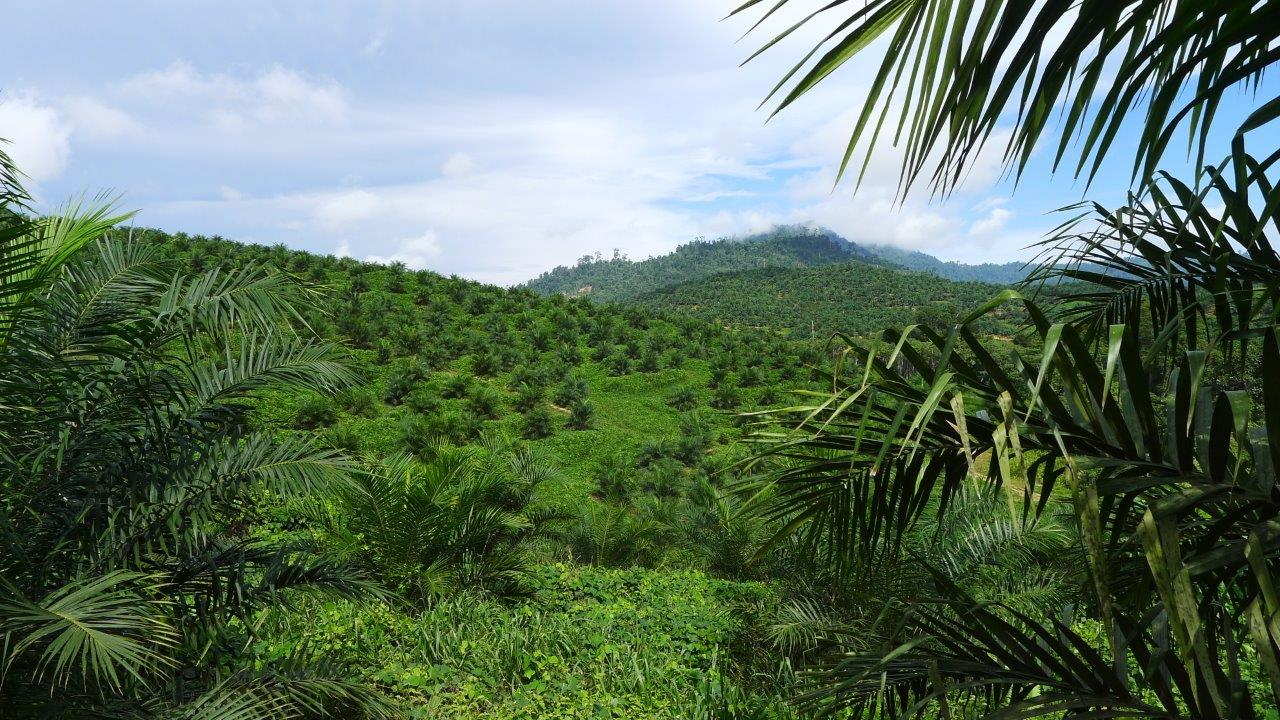 SAFE-oil-palm-plantation